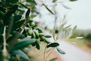 olive farming business plan