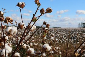 Cotton farmers grow larger profits with Wise Business Plans