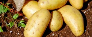 Potato Producers Partner with Wise Business Plans